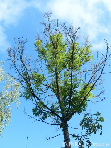 Chalarose-Frêne