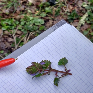 Botanical observations (here ground ivy)