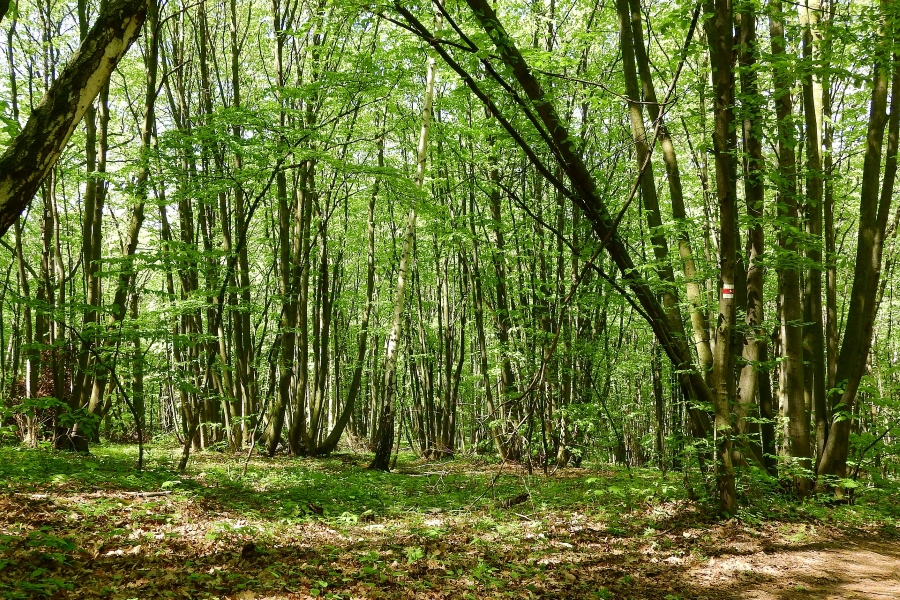 From coppice to high forest
